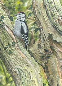 Great spotted woodpecker wildlife print for sale